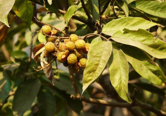 Kde se berou mýdlové ořechy